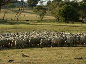 Australian Mernio Sheep
