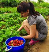 image of strawberry plant  - Girl gathers strawberries - JPG