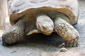 picture of spurs  - A giant African spurred tortoise  - JPG