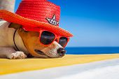 pic of sombrero  - jack russell dog resting sleeping a siesta under a palm tree on summer vacation holidays at the beach wearing sunglasses and a big hat sombrero - JPG