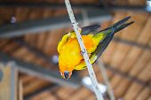 picture of sun perch  - A Sun Parakeet (Sun conure) parrot standing on the rope. ** Note: Soft Focus at 100%, best at smaller sizes - JPG