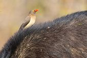picture of cape buffalo  - Cape buffalo with a red - JPG