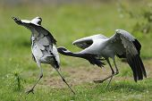 Demoiselle Cranes Squabble