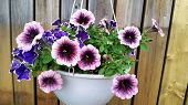 pic of petunia  - Beautiful blooming purple petunias in hang pot - JPG