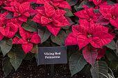stock photo of poinsettias  - Viking Red Poinsettia Plants In A Garden - JPG