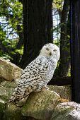 image of snowy owl  - snowy owl  - JPG