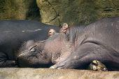 picture of hippopotamus  - photo of the head of sleeping hippopotamus - JPG