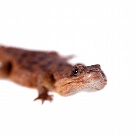 pic of girdles  - Transvaal Girdled Lizard, Cordylus vittifer, isolated on white background. ** Note: Shallow depth of field - JPG