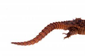 foto of girdles  - Transvaal Girdled Lizard - JPG
