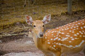 image of deer  - Chital or cheetal deer  - JPG