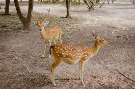 stock photo of deer  - Chital or cheetal deer  - JPG