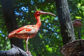 picture of scarlet ibis  - Scarlet ibis  - JPG