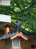 A Raven In Tokyo Garden