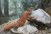 Orange lizard Uromastyx acanthinura, resting on grey rock