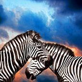 Two Zebras on the sky