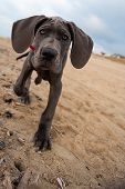 Great Dane Puppy On The Beach