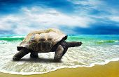 foto of hawksbill turtle  - Big Turtle on the tropical oceans beach - JPG