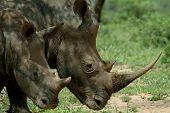 Постер, плакат: Два Rhino