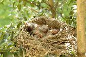 Hatchling Baby Birds In Nest