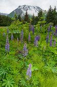 Lavenders In Full Bloom
