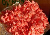 Pink Oyster Mushrooms Growing