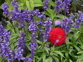 Blue Salvia And A Red Zinnia