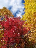 Two Colorful Trees In The Fall Season