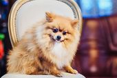 Cute Pomeranian Dog With Red Hair Like A Fox Resting On A Chair. Spitz Dog Before Shearing View poster