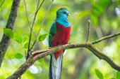 Male of resplendent quetzal (Pharomachrus mocinno) sits on the tree branch in the forest of Montever poster