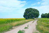 Country Sandy Road With Field Of Sunflowers And Green Grass On Roadsides. Small Country Way In Summe poster