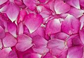 picture of rosepetals  - background image of beautiful pink rose petals - JPG