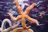 Orange Starfish Surrounded By Other Starfishes And Fishes poster