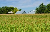 Corn Field, And Barns
