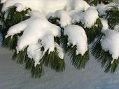Branch Of Pinus Sibirica Covered Under The Snow