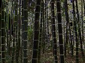 pic of watle  - Nightsky Forest Bamboo - JPG