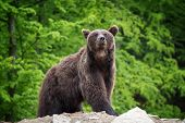 European Brown Bear In A Forest Landscape poster