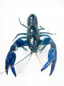 Yabby Yabbie azul agua dulce australiano