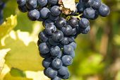 Blue ripe grapes on the vine stock