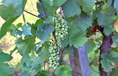 Young harvest on vine stock