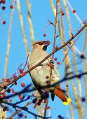 Bird Pecks Berries From A Bush. A Whistler Bird With A Tuft On Its Head. A Bird On A Tree Branch Fee poster