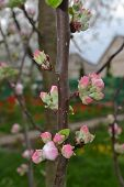 Spring Blossoms. Apple Tree Flowers On White And Pink, Blossom Buds, Vertical Image poster