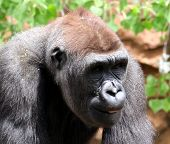picture of swinger  - Chimpanzee walking around seeing what he can get into - JPG
