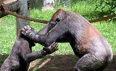 Chimp- No Your It