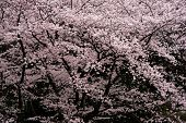 Wall of Japanese Cherry blossoms in spring, full bloom. Tranquil and darkish cherry blossom. poster