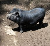 stock photo of pot-bellied  - A pot belly pig with black fur standing in the sunlight - JPG