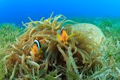 Pair of Clownfish in a Bubble Anemone