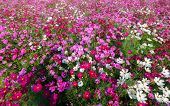 Beautiful Cosmos Flowers Blooming In Cosmos Field On Top View Background At Saraburi, Thailand, Flow poster