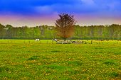 stock photo of feeding horse  - Cows and Horses Grazing in the Floodplain Netherlands Sunrise - JPG