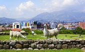 Lamas At The Archaeological Garden, Panoramic View At City And Inca Ruins From The Archeological Com poster