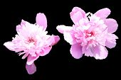 Two light pink garden pions isolated on black